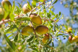 argania-spinosa-kernel-oil